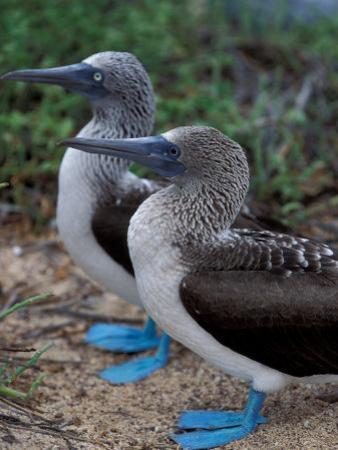 Blue-Footed Boobies of the Galapagos Islands, Ecuador