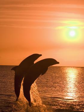 Bottlenose Dolphins, Caribbean Sea by Stuart Westmoreland