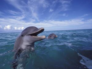 Bottlenose Dolphins, Caribbean by Stuart Westmoreland