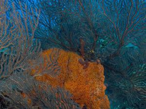 Deep Water Sea Fan and Encrusting Orange Sponge, Hol Chan Marine Preserve, Barrier Reef, Belize by Stuart Westmoreland