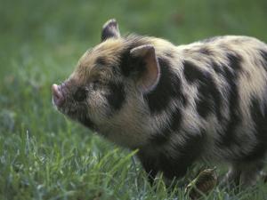 Domestic Farmyard Piglet, South Africa by Stuart Westmoreland