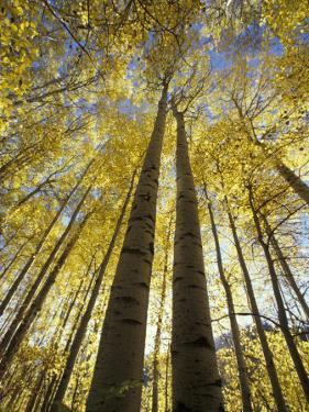 Fall-Colored Aspen Trees, Stevens Pass, Washington, USA by Stuart Westmoreland
