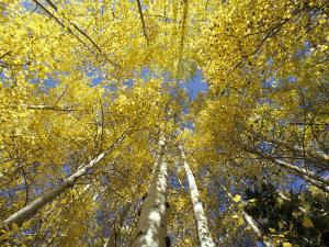 Fall-Colored Aspen Trees, Stevens Pass, Washington, USA by Stuart Westmoreland