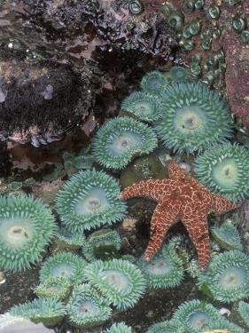 Giant Green Anemones and Ochre Sea Stars, Oregon, USA by Stuart Westmoreland