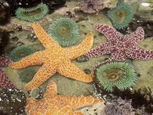 Giant Green Anemones and Ochre Sea Stars by Stuart Westmoreland