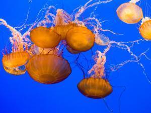 Sea Nettles, Monterey Bay Aquarium Display, Monterey, California, USA by Stuart Westmoreland