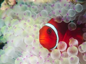Spinecheek Anemonefish, Bulb-tipped Anemone, Great Barrier Reef, Papau New Guinea by Stuart Westmoreland