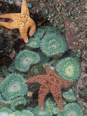 Tidepool of Sea Stars, Green Anemones on the Oregon Coast, USA by Stuart Westmoreland