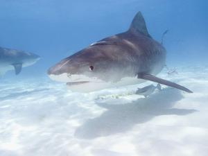 Tiger Sharks, Northern Bahamas by Stuart Westmoreland