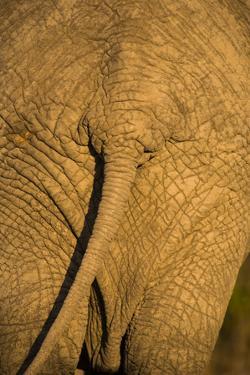 African Elephant, Sabi Sand Reserve, Mpumalanga, South Africa by Stuart Westmorland