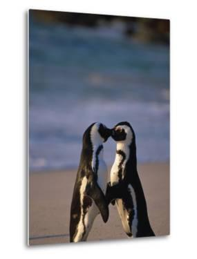 African Penguins Showing Affection by Stuart Westmorland