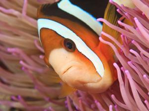Anemonefish, Tukang Besi/Wakatobi Archipelago Marine Preserve, South Sulawesi, Indonesia by Stuart Westmorland