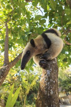 Anteater at rehab center and forest preserve on Mango Key across from Coxen Hole, Roatan by Stuart Westmorland