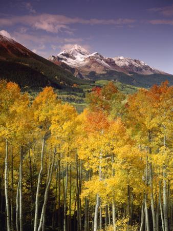 Aspen Tree, Snowcapped Mountain, San Juan National Forest, Colorado, USA