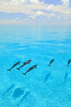 Atlantic Spotted Dolphins, White Sand Ridge, Bahamas, Caribbean by Stuart Westmorland