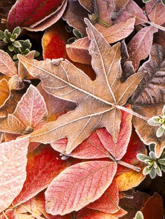 Autumn leaves on the ground, covered in frost. by Stuart Westmorland