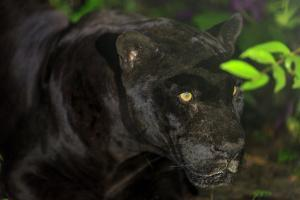 Black Jaguar, Belize City, Belize, Central America by Stuart Westmorland