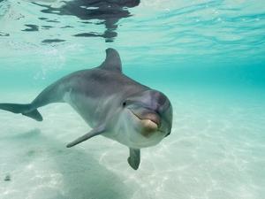 Bottlenose Dolphin by Stuart Westmorland