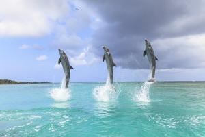 Bottlenose Dolphins, Caribbean Sea, Roatan, Bay Islands, Honduras by Stuart Westmorland