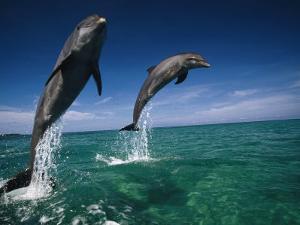 Bottlenose Dolphins, Tursiops Truncatus by Stuart Westmorland