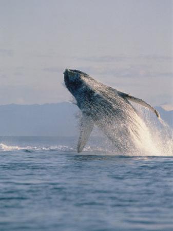 Breaching Humpback Whale