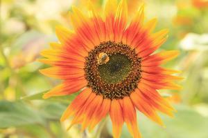 Bumblebee on Sunflower, Community Garden Project, Washington by Stuart Westmorland