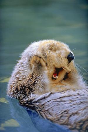California Sea Otter floating face up, Monterey, California