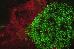 Carpeting Cup Coral Fluorescing at night, Galapagos Islands National Park, Ecuador by Stuart Westmorland