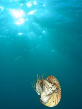 Chambered Nautilus Swimming Near Gnemelis Dropoff, Palau, Micronesia by Stuart Westmorland