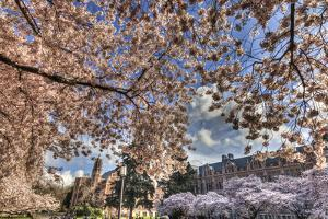 Cherry blossoms in peak bloom, spring, University of Washington campus, Seattle, WA. by Stuart Westmorland