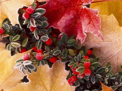 Close-up of frost-covered leaves and berries in autumn. by Stuart Westmorland