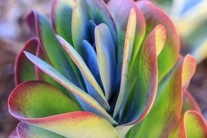 Close-up of succulent plants, San Diego, California, USA. by Stuart Westmorland