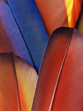 Feather Details of Scarlet Macaw, Honduras by Stuart Westmorland