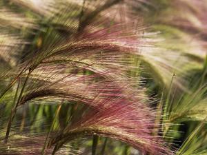 Foxtail Barley, Banff NP, Alberta, Canada by Stuart Westmorland
