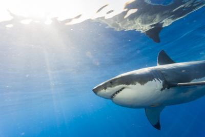 Great White Shark, Large 5 meter female, Guadalupe Island, Marine Preserve, Baja California, Mexico by Stuart Westmorland