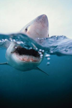 Great White Shark, South Africa by Stuart Westmorland