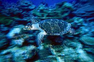 Hawksbill Sea Turtle, Maldives by Stuart Westmorland
