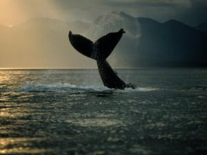 Humpback Whale Tail at Sunset by Stuart Westmorland