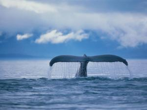 Humpback Whale Tail by Stuart Westmorland