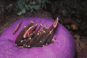 Indonesia, Komodo Area, Pink Anemonefish in Sea by Stuart Westmorland