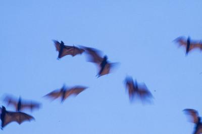 Indonesian short-nosed fruit bat, Komodo Island, Indonesia by Stuart Westmorland