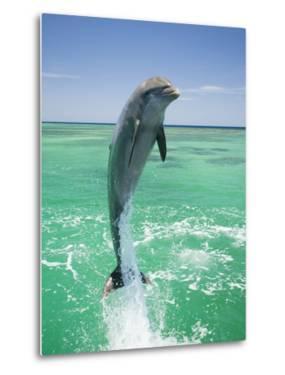 Jumping Bottlenose Dolphin by Stuart Westmorland