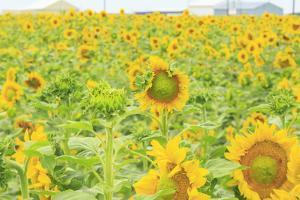 Large Field of Sunflowers Near Moses Lake, Wa, USA by Stuart Westmorland