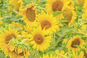 Large Field of Sunflowers Near Moses Lake, Washington State, USA by Stuart Westmorland