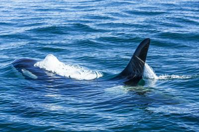 Large male from Pod of resident Orca Whales in Haro Strait near San Juan Island, Washington State,  by Stuart Westmorland
