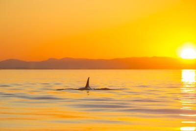 Large male Orca at sunset from Pod of resident Orca Whales in Haro Strait near San Juan Island, Was by Stuart Westmorland