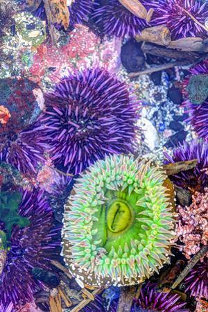 Low Tide, Intertidal Zone with Green Anemone, Purple Sea Urchins, and Coralline Algae, Entrance of  by Stuart Westmorland