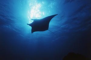 Mania Ray, Manta Alfredi, Island of Yap, Micronesia by Stuart Westmorland