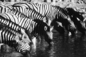 Namibia, Etosha National Park, Burchells Zebra Drinking at Waterhole by Stuart Westmorland