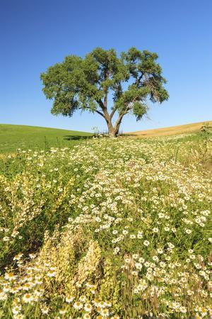 Oak Tree Near Field of Oxeye Daisies and Wheat, Palouse, Washington